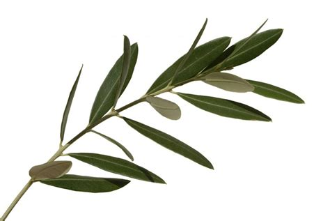 best olive leaf extract olive leaf clipart best