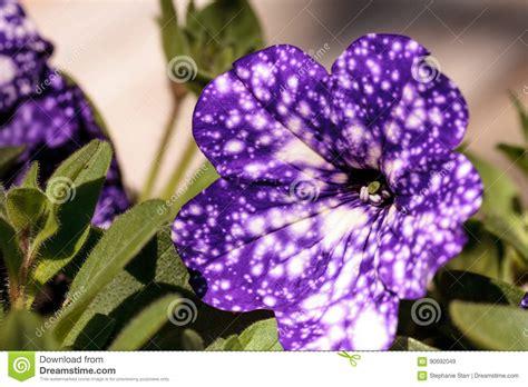 la flor purpura ficcion 8425338972 flor p 250 rpura de la petunia del cielo nocturno foto de archivo imagen 90692049