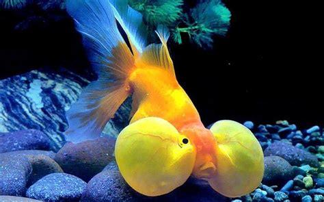 Jenis Pakan Ikan Koki ikan koki mata balon hewan id