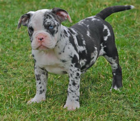 blue merle bulldog puppy blue merle olde bulldog pups wisbech cambridgeshire pets4homes