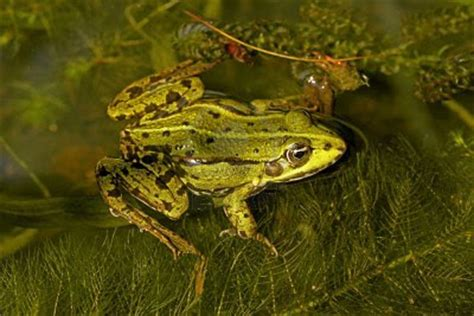 Edible Frog | Photos and Info | The Wildlife