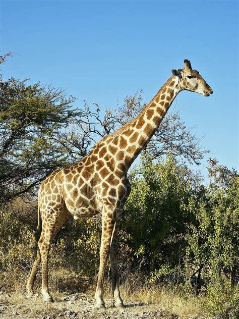 imagenes de jirafas salvajes giraffa camelopardalis wikipedia la enciclopedia libre