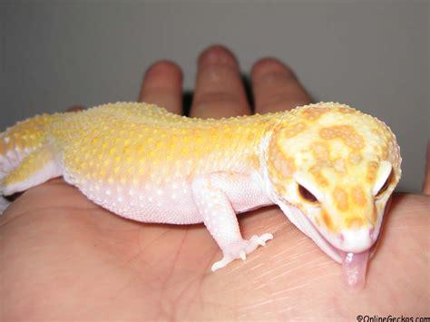 best reptile pets for handling beginner pet lizards leopard gecko as pets onlinegeckos com
