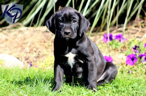 boxador puppies boxer lab mix a k a boxador breed info characteristics and pictures animalso