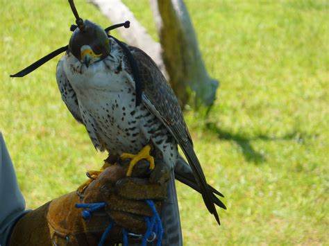 bird of the day sager hawk birds of prey center south