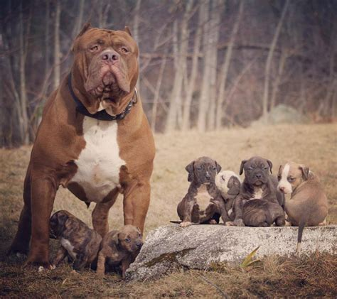 how many puppies do pitbulls in the litter world s largest pit bull and security has 8 babies their selling price