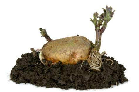 wann kartoffeln pflanzen kartoffeln pflanzen 187 antworten auf alle fragen
