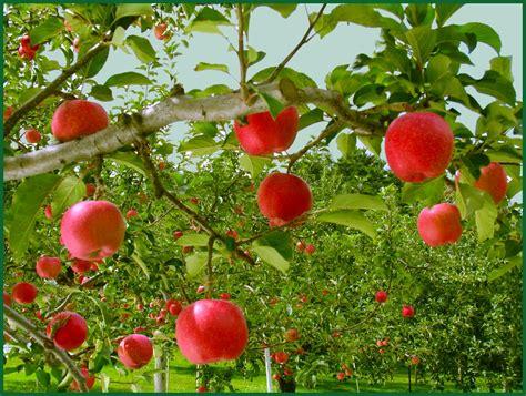 apple orchard abc parish 8 28 11 9 4 11