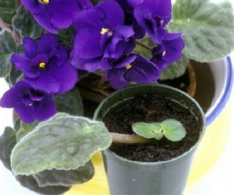 Tanaman Violces Ungu menanam violces di dalam ruangan indoor bibitbunga
