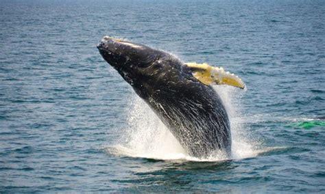plymouth ma whale plymouth whale in plymouth ma groupon