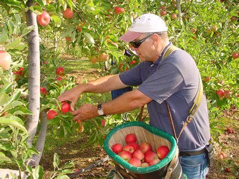 apple australia iphone apple harvesting
