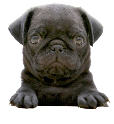 pug png black pug puppy wallpaper 1920x1080 black pug puppy breeds picture