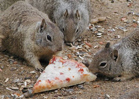 scary squirrel world squirrels eating pizza