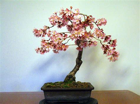 bonsai da fiore evoluzione bonsai bonsai di ciliegio da fiore prunus