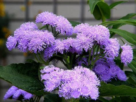 Blooming Flower by Ageratum Houstonianum