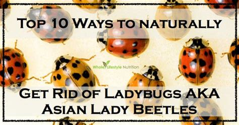 How To Get Rid Of Ladybugs Inside My House top 10 ways to get rid of ladybugs aka asian