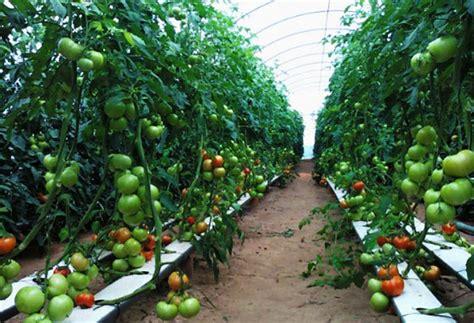 membuat lu hidroponik usaha tomat hidroponik rumahan yang menggiurkan