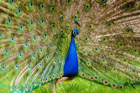 Ground Plan by 20 Beautiful Images Of Peacocks