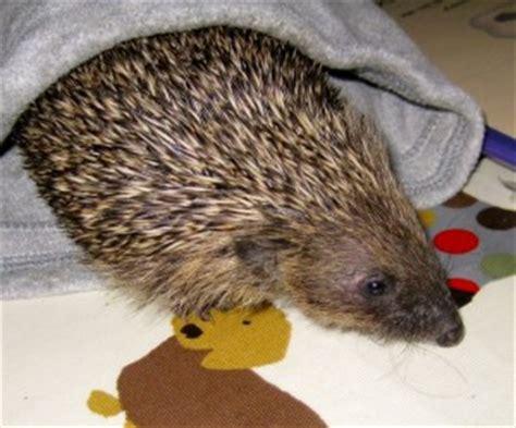 hedgehog bed beanie hat hedgehog bed petdiys com