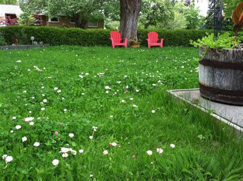 5 amazing lawn alternatives clover lawn outside