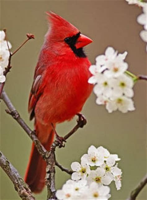 10 facts about cardinals fact file