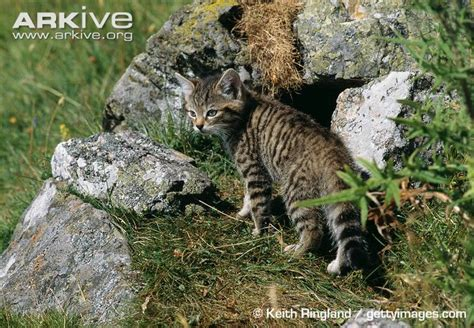 Inidia Cat 44 wildcat photo felis silvestris a14751 arkive