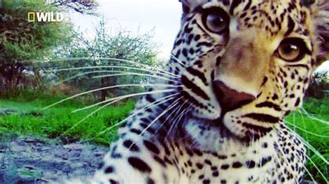 up jaguar gif find on giphy
