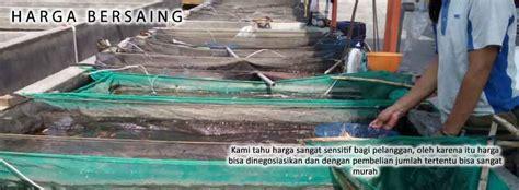 Bibit Gurame Di Kediri bibit ikan kediri bibit ikan termurah di kediri