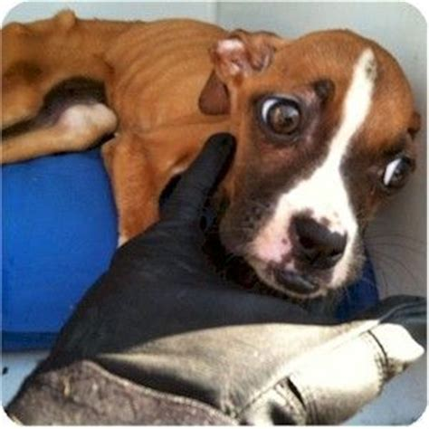 adopt a puppy nyc harrison ny boxer meet nana a puppy for adoption rescue dogs