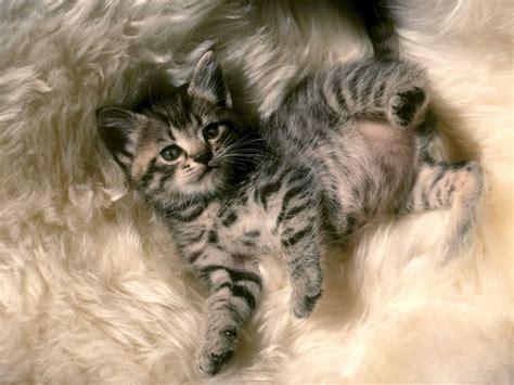 imagenes de gatitos blancas tiernas zoom dise 209 o y fotografia gatitos gatos tiernos mascotas