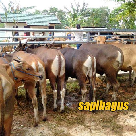 Timbangan Sapi Hidup sarang halang pelaihari pasar hewan terbesar di kalimantan sapibagus