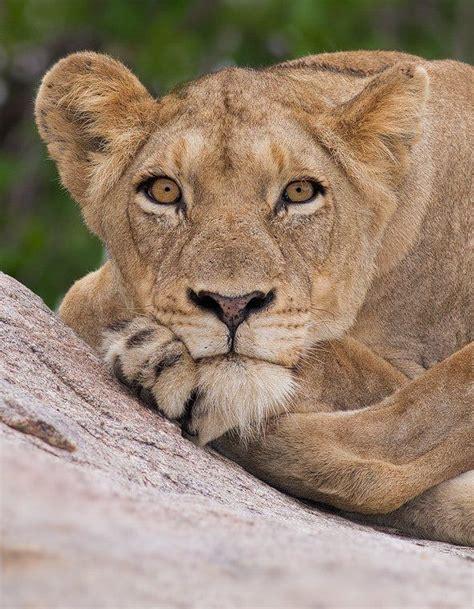 lioness stare portrait