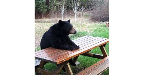 Bear At Picnic Table Meme - why winter cing is the best kind