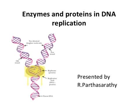 7 proteins involved in dna replication enzymes and proteins in dna replication