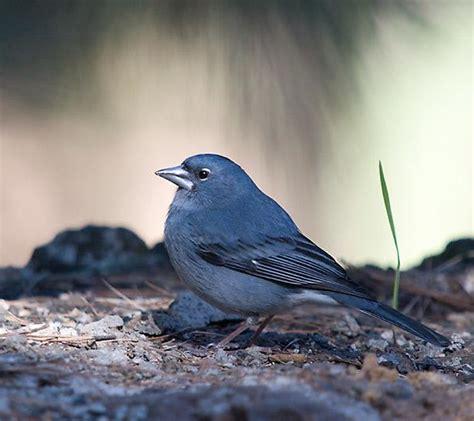 uccellini da gabbia uccelli da gabbia fringuello azzurro