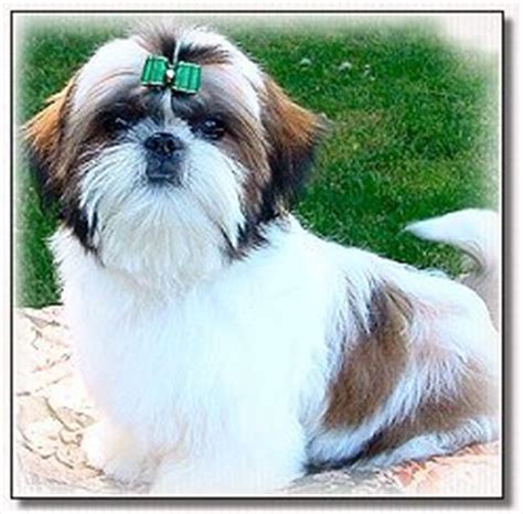 best grooming tools for shih tzu shih poo hair styles search results hairstyle galleries