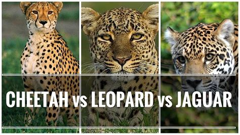 what s the difference between a jaguar and difference between cheetah leopard and jaguar big cats