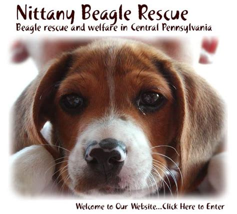 beagle puppies for sale in ny pin beagle puppies for sale bangalore animals on