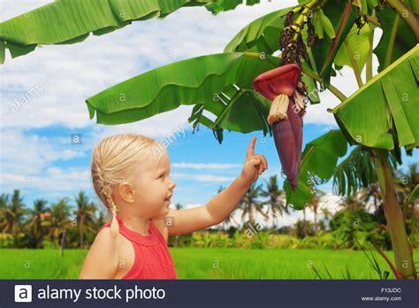 tiny musa banana tree 100 tiny musa banana tree