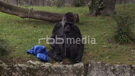 berlin zoo 2014 gorilla schmei 223 t mit t 252 chern zoo berlin 2014 footage berlin