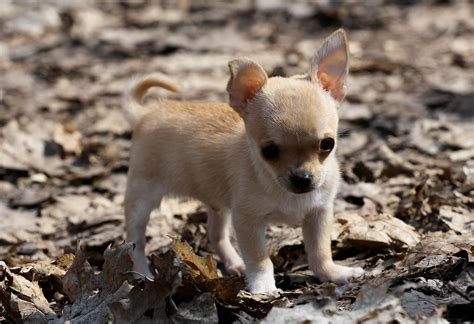 baby puppy wallpaper baby puppy chihuahua wallpaper 3784x2592 309639 wallpaperup