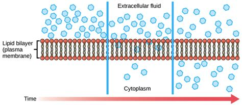bi  ss exam review cell membranes diffusion youtube