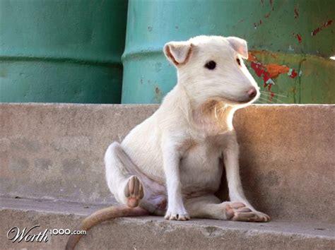rat dogs mexican rat picture ebaum s world