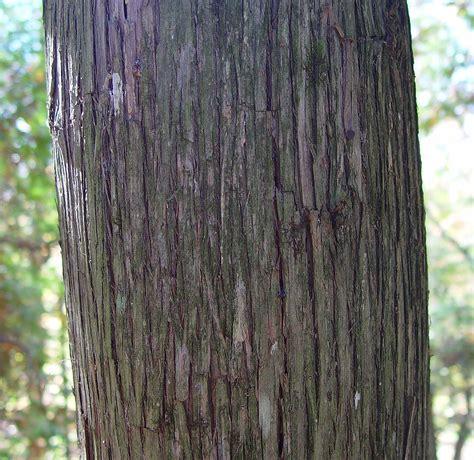 Cedar L by Thuja Occidentalis Northern White Cedar Go Botany