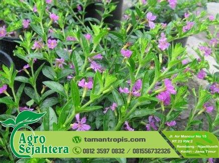 Jual Bibit Bunga Nasturtium jual bibit tanaman hias bunga taiwan