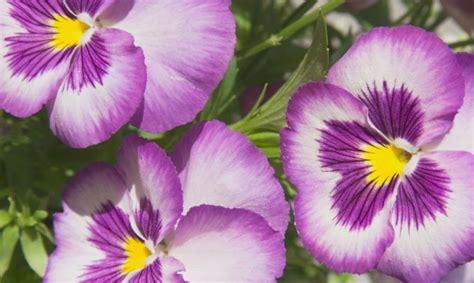imagenes de flores llamadas pensamientos pensamiento viola x wittrockiana plantas jardineria