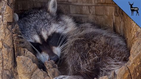 forget winter just hibernate in one of these cozy homes five animals that love sleep more than you youtube