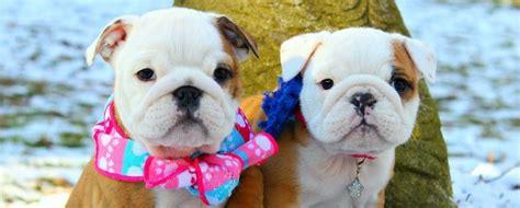 bulldog puppies cost bulldog puppies winter