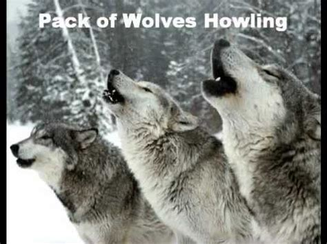howling sounds wolves howling sound effects go search for tips tricks cheats search at