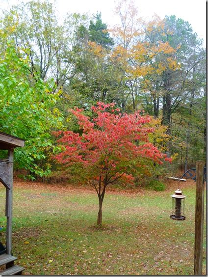 small trees for backyard fall pumpkins and quilting small trees for front yard